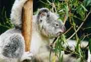 180px_koala_ag1.jpg