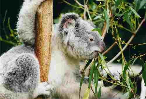 800px_koala_ag1.jpg